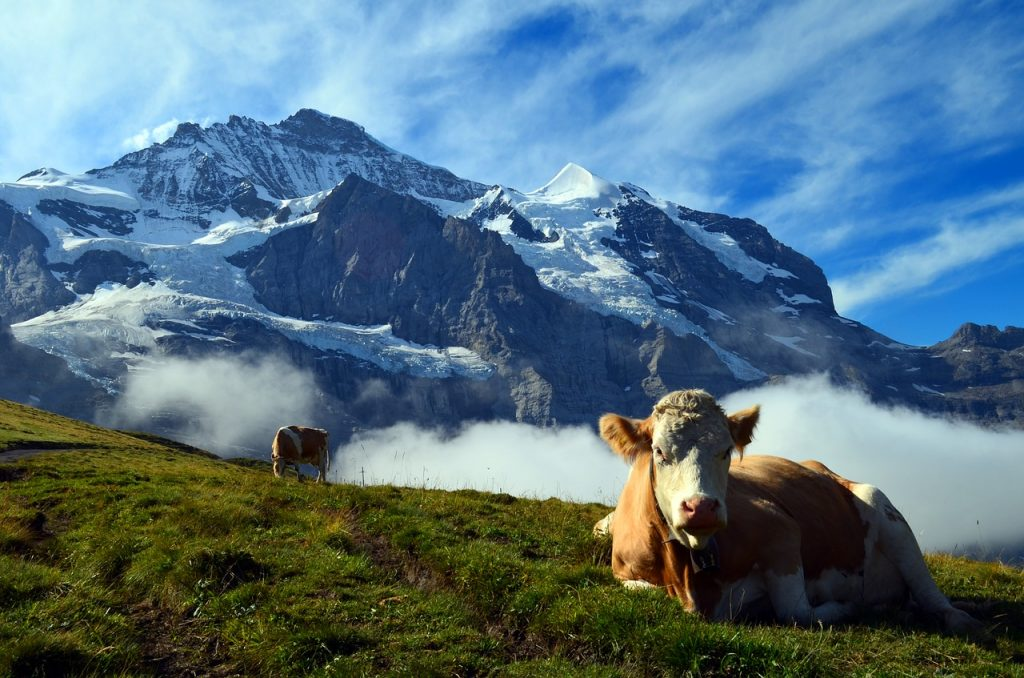 Cows around Grindelwald