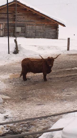 Juf cow