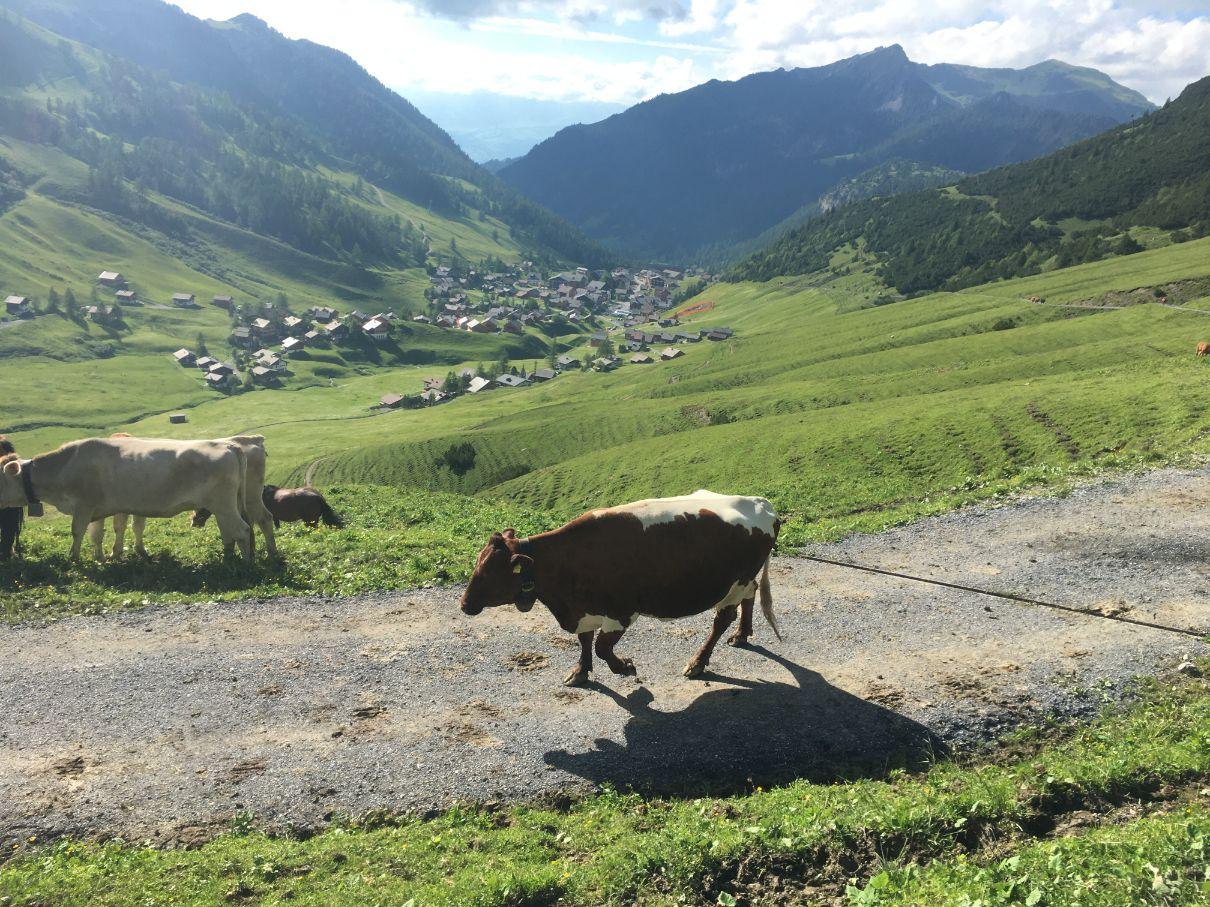 Cows in Liechtenstein