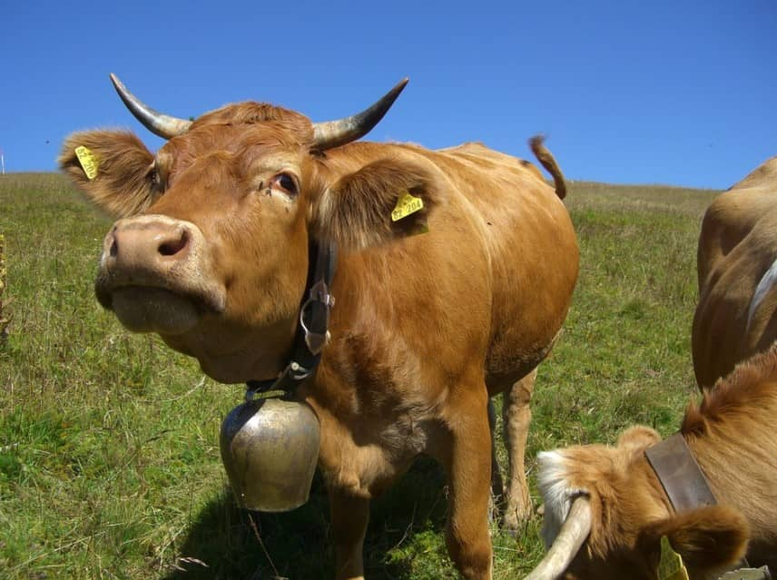 Swiss Cowbell