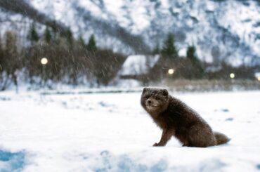 Dangerous animals in Iceland