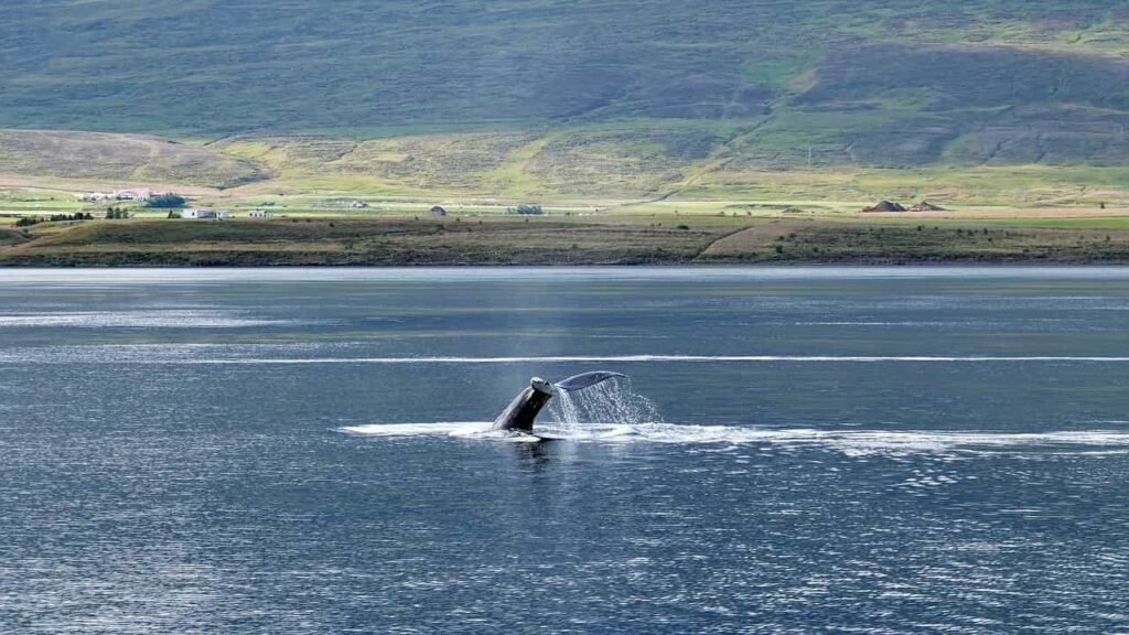Iceland whales